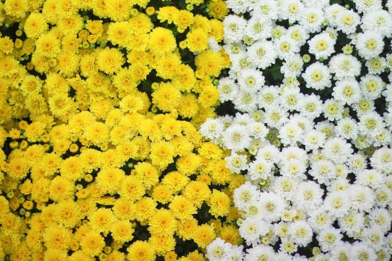 Odgórnego widoku bielu i koloru żółtego chryzantemy kwiatów ampuły grupy kolorowy kwitnienie w ogródzie, natury tło zdjęcia stock
