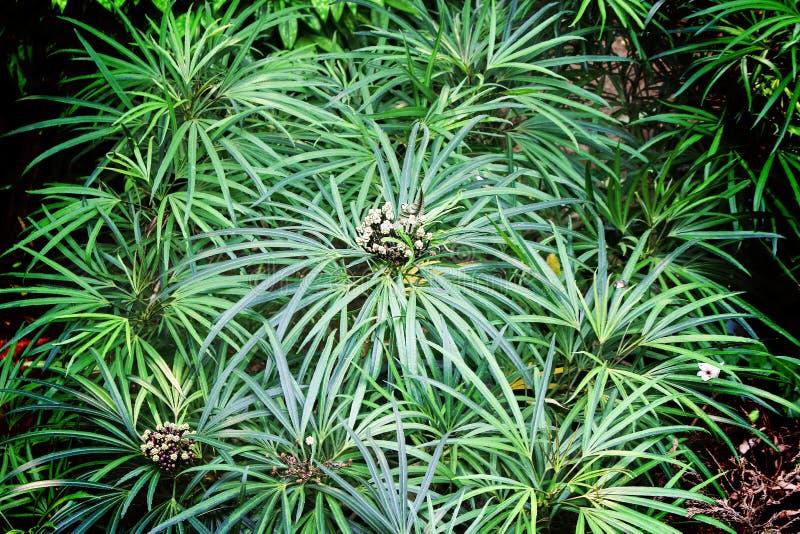 Odgórnego widoku cyperus imbricatus krzak, natury tło zdjęcie royalty free