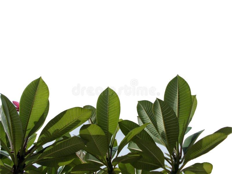 Odgórnego widoku drzewny tropikalny liść z gałąź odizolowywać na białych tło, zielony ulistnienie dla tła royalty ilustracja
