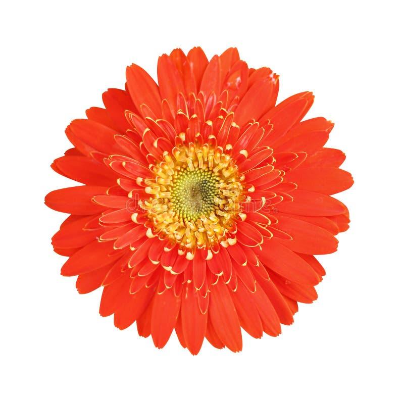 Odgórnego widoku kolorowi kwiaty czerwień i kwitnienie z wod kroplami odizolowywać na białym tle koloru żółtego gerbera lub barbe obrazy royalty free