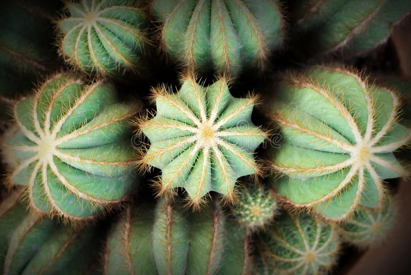 Odg?rnego widoku kolorowych kwiat?w zielony kaktus z bia?ego w?osy i z?ota cierniow? tekstur? deseniuje kwitnienie w ogr?dzie obraz royalty free