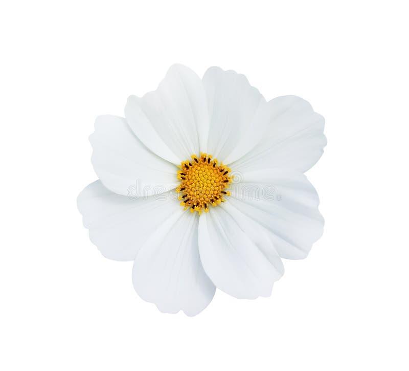 Odgórnego widoku natury czysty biały kosmos kwitnie lub meksykański aster z żółtym pollen deseniuje kwitnienie odizolowywającego  fotografia stock