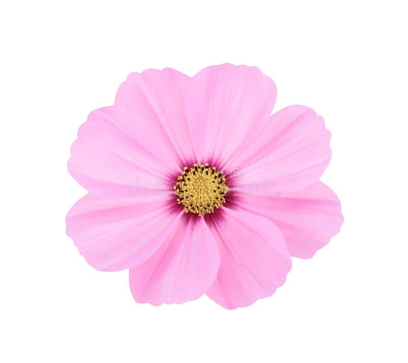 Odgórnego widoku natury kosmosu kolorowi kwiaty płatka lub meksykanina różowy aster z żółtym pollen deseniują kwitnienie odizolow obrazy royalty free