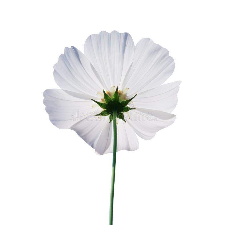 Odgórnego widoku natury kosmosu kwiaty płatka lub meksykanina biały asteru kwitnienie z odbiciem od słońca odizolowywających dale obrazy stock