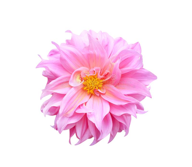 Odgórnego widoku purpur lub menchii dalii kwiatu kolorowy ornamentacyjny kwitnienie z żółtym pollen odizolowywającym na białym tl zdjęcie stock