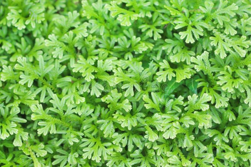 Odgórnego widoku zieleni liści malutka tekstura, Naturalny wzoru tło fotografia stock