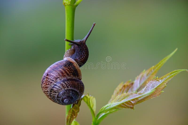 Odgórny widok ślimaczka czołganie wzdłuż badyla z liściem fotografia stock