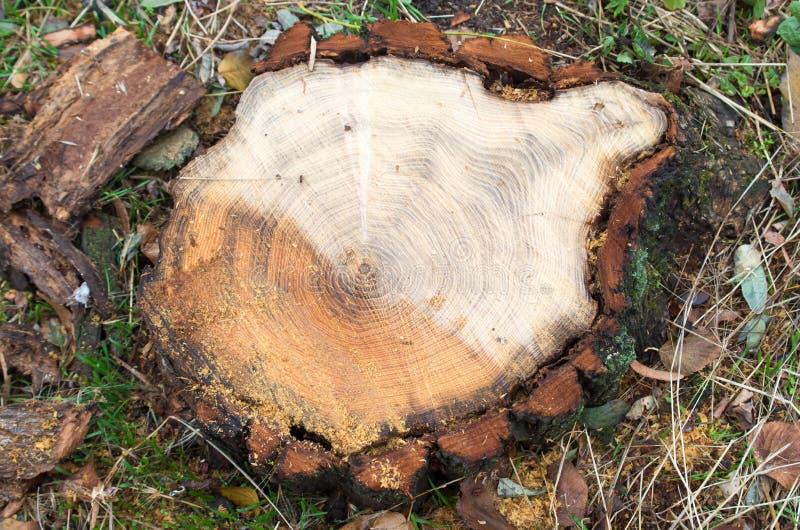 Odgórny widok świeży rżnięty drzewny fiszorek na lesie fotografia royalty free