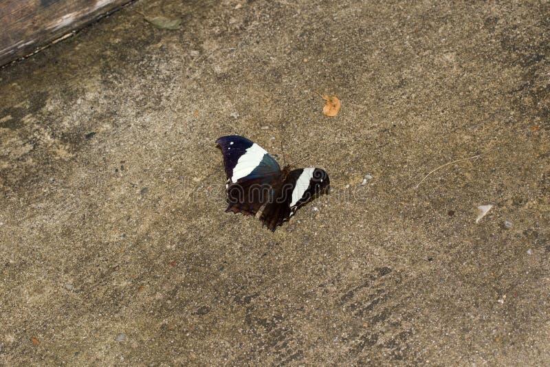 Odgórny widok czarny i biały motyl z otwartymi skrzydłami siedzi na ziemi obrazy royalty free