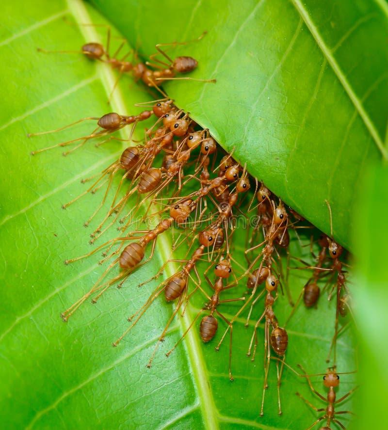 Odgórny widok czerwony mrówki wojsko buliding gniazdeczko zdjęcia stock