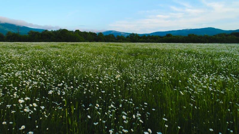 Odgórny widok dzikiego chamomile pole strza? Biali chamomile kwiaty zobaczą na zielonym tle lata pole Ogromny udział obraz royalty free