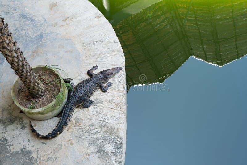 Odgórny widok krokodyl blisko nawadnia Tajlandia obraz royalty free