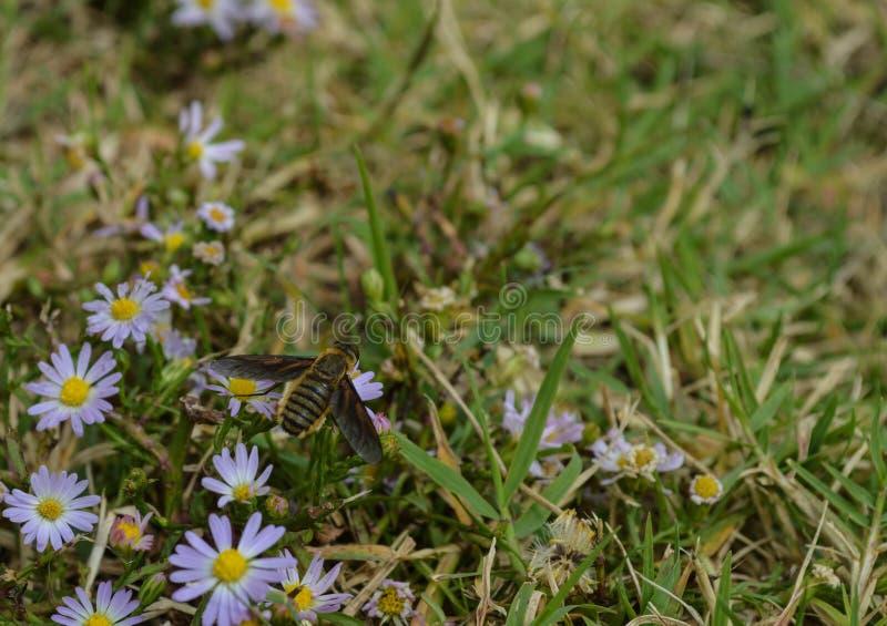 Odgórny widok, Makro- fotografia pszczoła która lądował na małym wildflower obraz stock