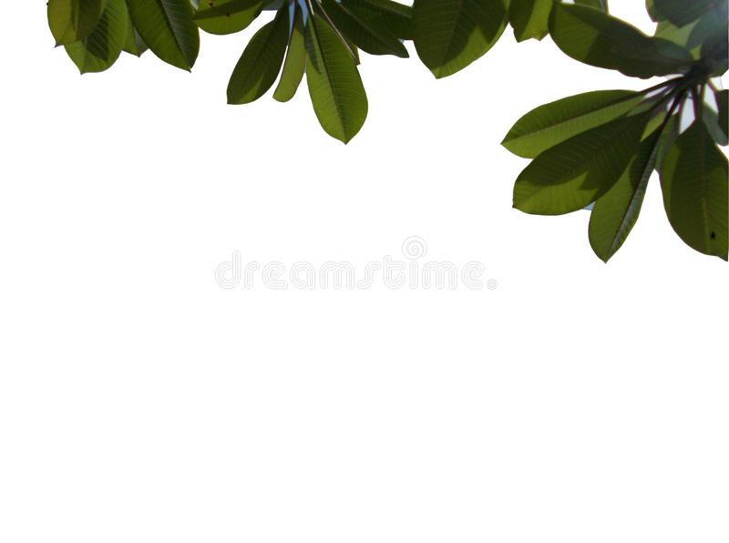 Odgórny widok odizolowywający na białych tło tropikalny liść ilustracja wektor