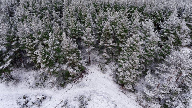 Odgórny widok przy śniegiem zakrywał wierzchołki sosny i modrzewie w zima wiecznozielonym lesie obrazy stock