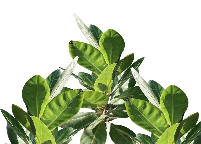 Odgórny widok Tropikalny drzewny liść odizolowywający na białym tle dla zielonego ulistnienia tła flora, środowisko ilustracja wektor