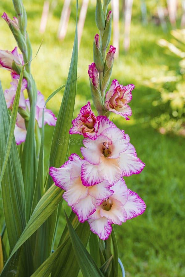 Odgórny widok wspaniały magenta gladiolusa kwiat odizolowywający przeciw tłu zieleni liście obraz royalty free