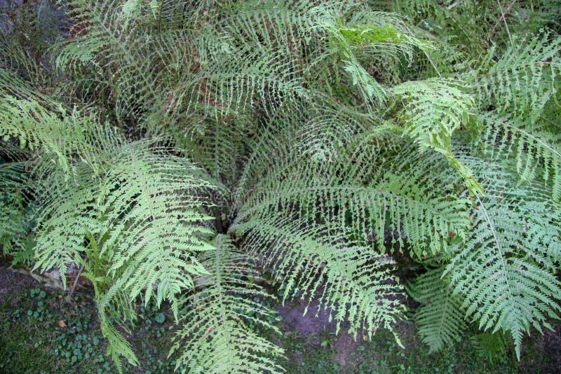 Odgórny widok zieleni paprociowi gąszcze z dziwacznymi liśćmi obrazy stock