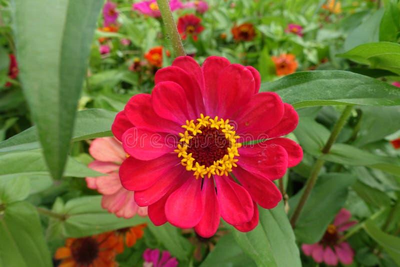 Odg?rny widok czerwona kwiat g?owa cynie fotografia stock