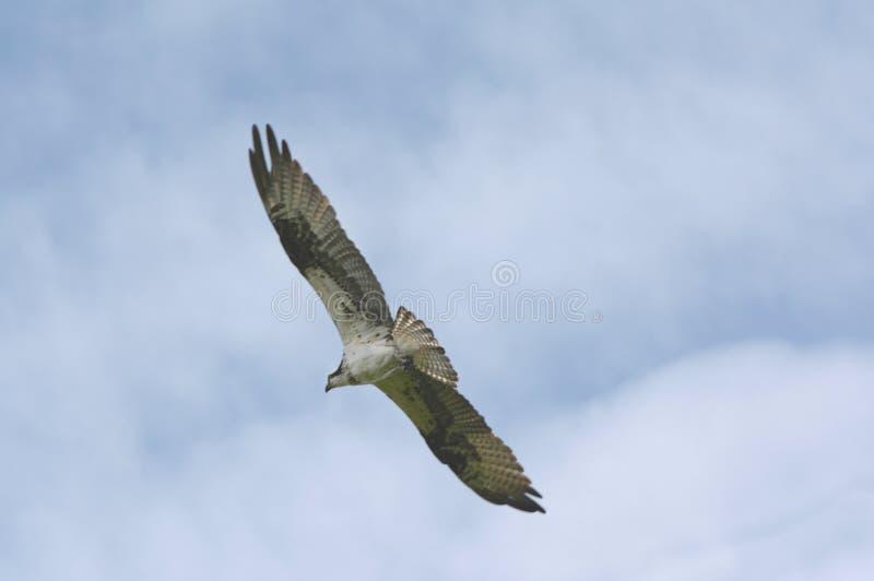 Odisseia norte-americana do voo da águia pescadora fotos de stock