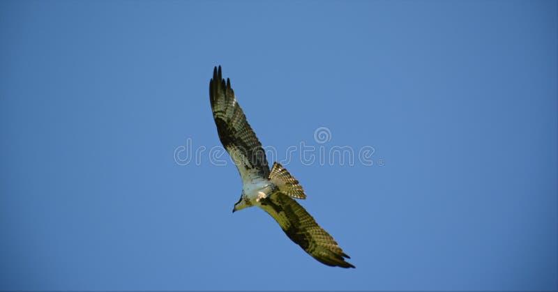 Odisseia norte-americana do voo da águia pescadora imagem de stock