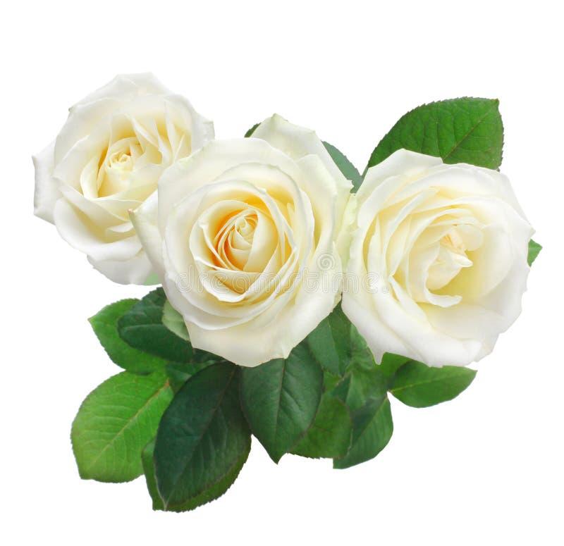 Odizolowywać na biel biały róże zdjęcia royalty free