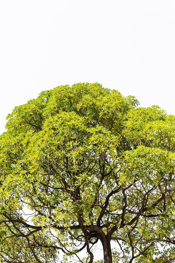 Odizolowywa drzewa w Asia. obrazy stock