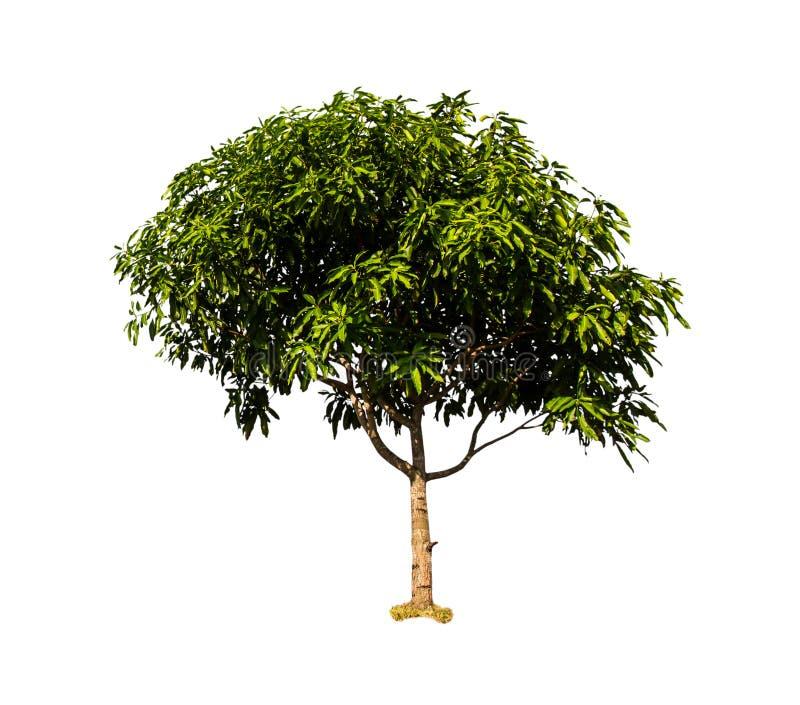 Odizolowywa mango zdjęcie royalty free