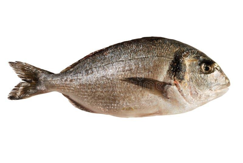 odizolowywająca dorada ryba obraz stock