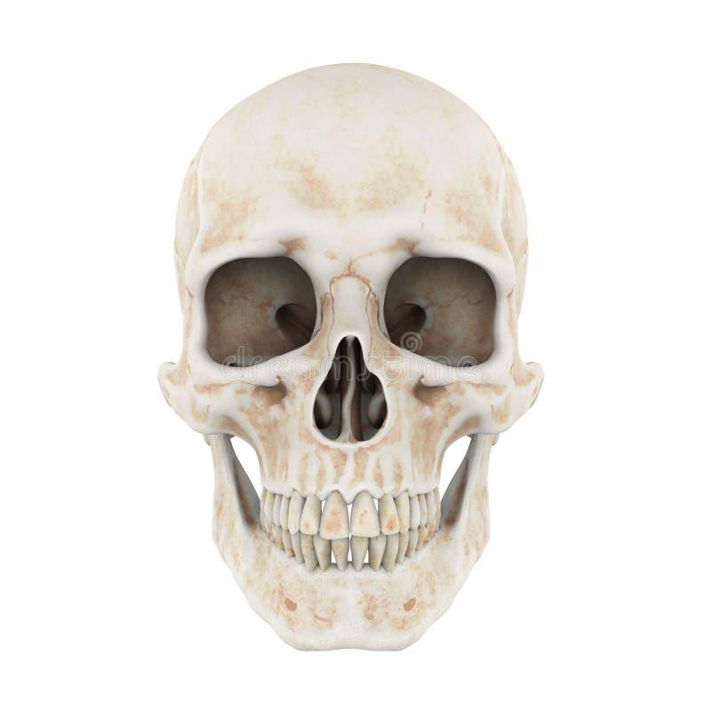 Odizolowywająca ludzka czaszka royalty ilustracja