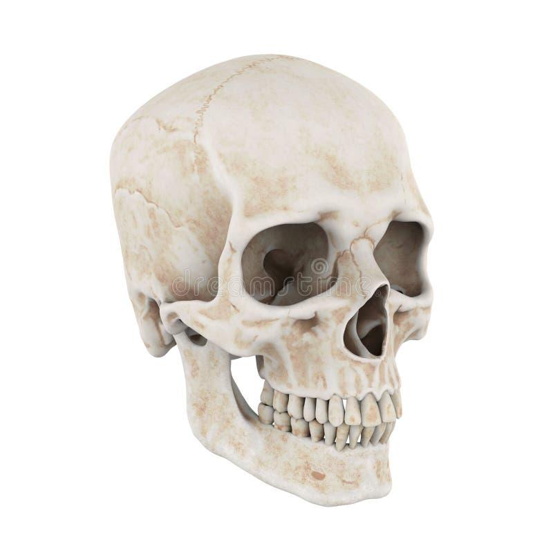 Odizolowywająca ludzka czaszka ilustracja wektor