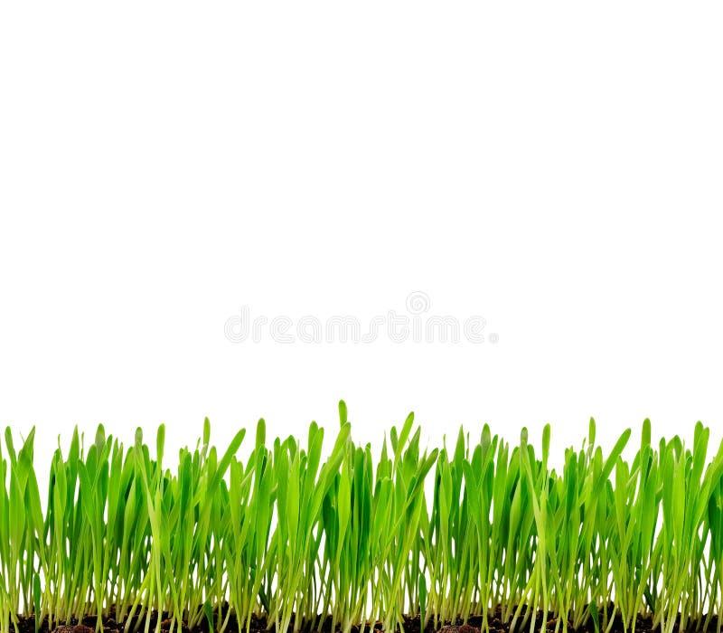 odizolowywająca trawy zieleń zdjęcia royalty free