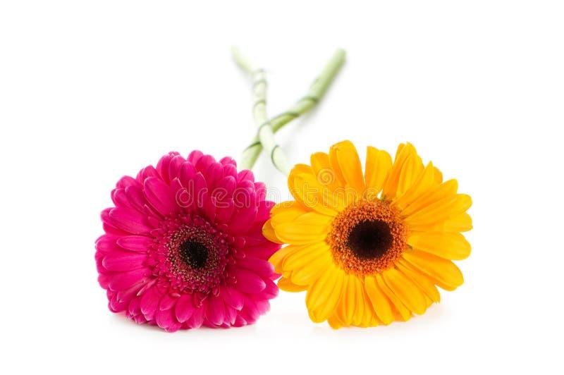 Odizolowywającego gerbera dwa kwiatu zdjęcie royalty free