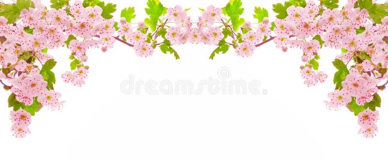 odizolowywającej kwiaty wiśni zdjęcie royalty free