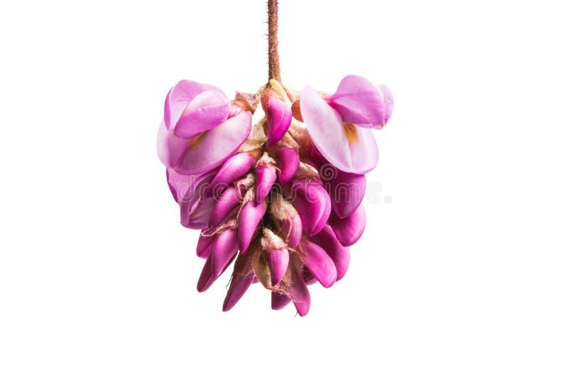 Odizolowywający akacjowi kwiaty zdjęcia stock