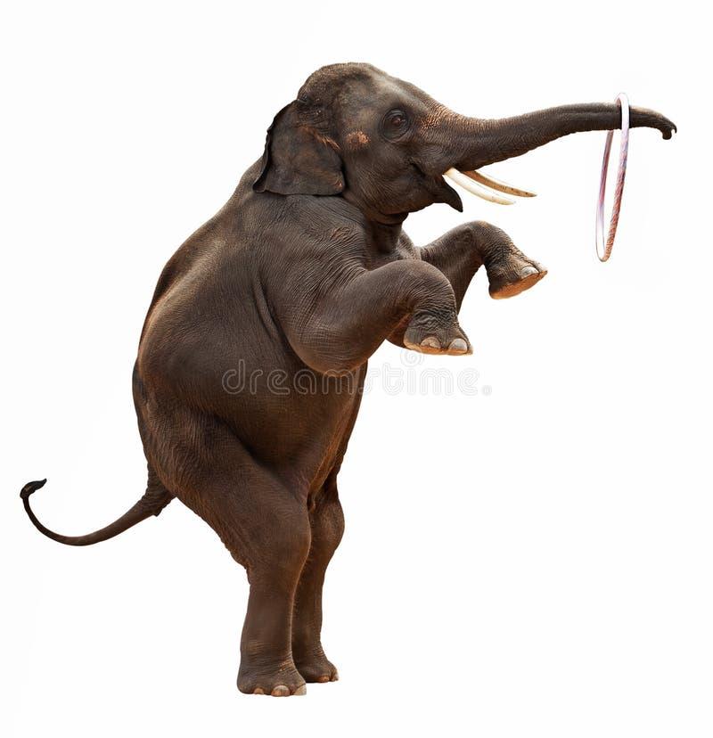 odizolowywający akrobatyczny słoń zdjęcie royalty free