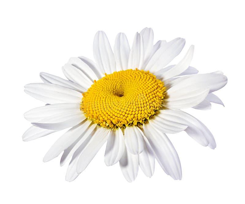 odizolowywający chamomile kwiat zdjęcia royalty free