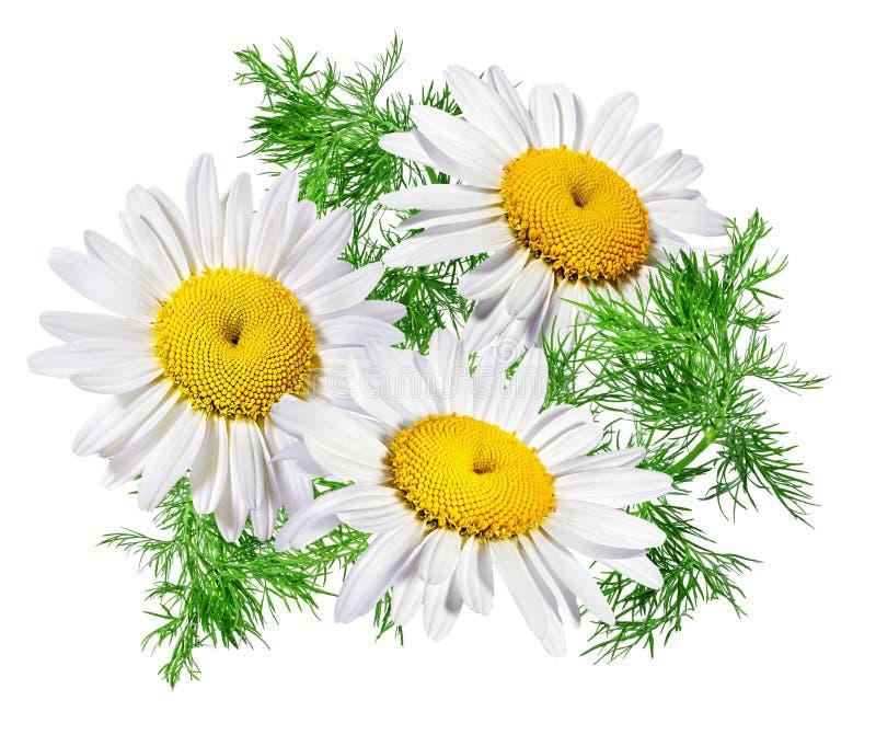 odizolowywający chamomile kwiat obraz stock