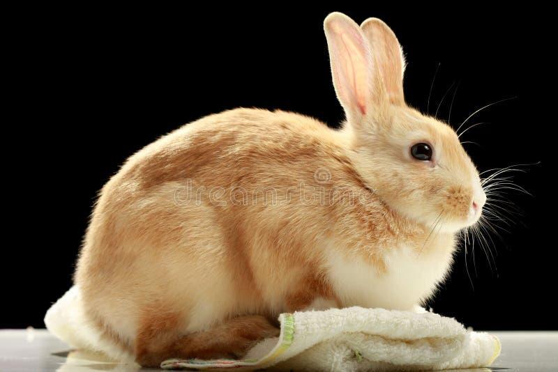 odizolowywający czarny królik obrazy royalty free