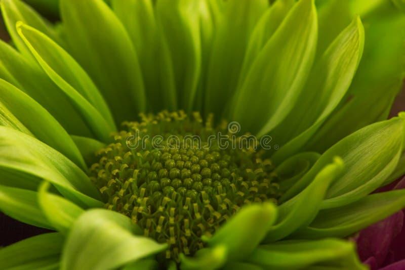 odizolowywający kwiatu gerbera zdjęcia stock