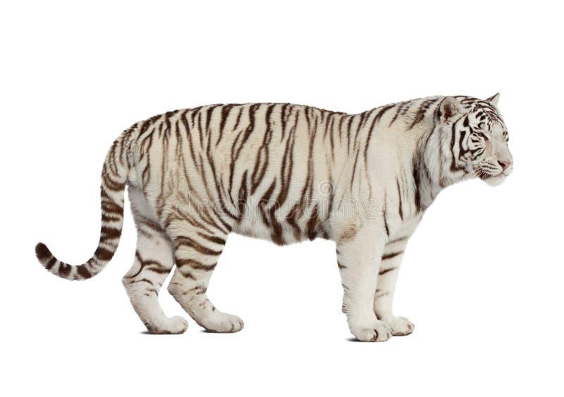 odizolowywający nad tygrysim biel fotografia royalty free