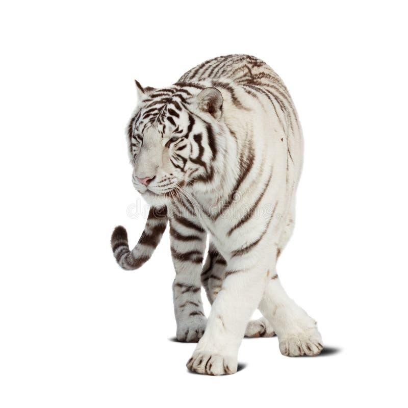 odizolowywający nad tygrysim chodzącym biel obrazy stock