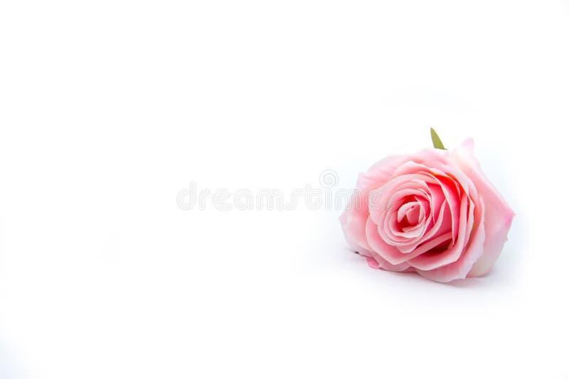 odizolujcie różową różę zdjęcie stock