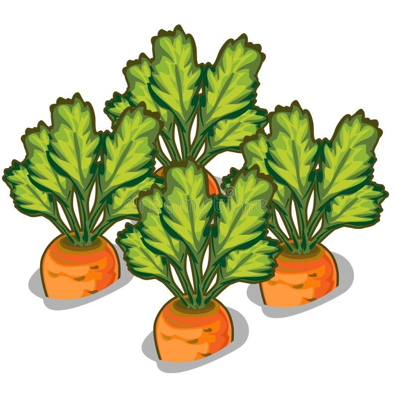 Odla den smakliga moroten Vektorgrönsak vektor illustrationer