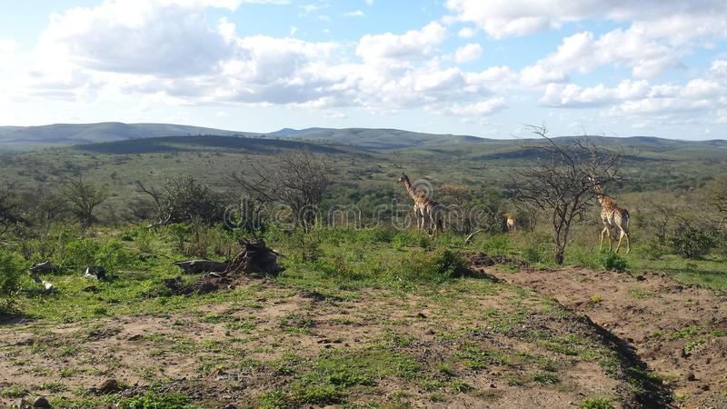 Odległe żyrafy w południe - afrykańska sawanna obrazy royalty free