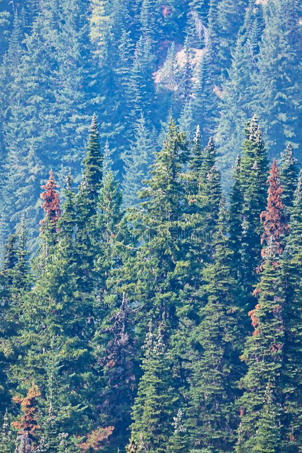 Odległy sosen rosnąć wysoki w lesie zdjęcia stock