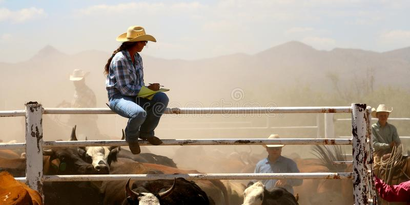 Odliczające krowy fotografia stock