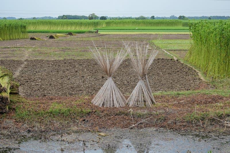 Odling av jute i Indien Jute ?r en av de viktiga naturliga fibrerna efter bomull n?r det g?ller odling och anv?ndning royaltyfria foton