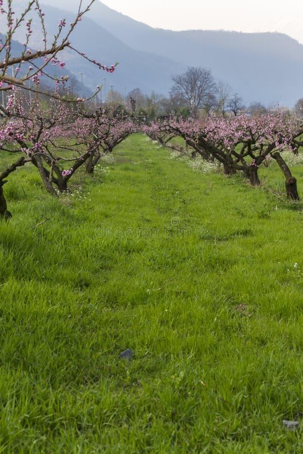 Odling av persikaträd royaltyfria bilder