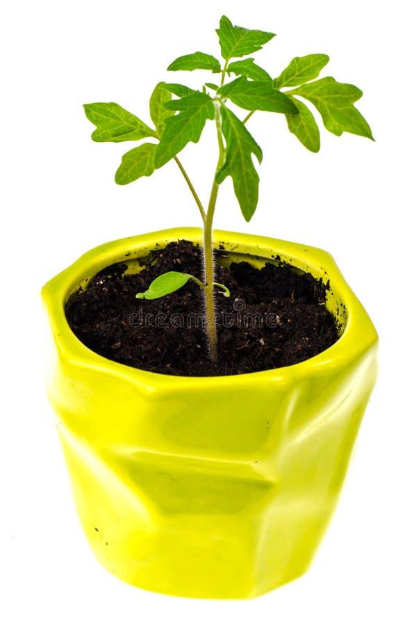 Odling av tomatplantor, liten planta royaltyfria bilder
